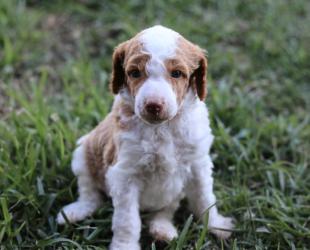 Raymond-Male-Training Puppy-$9000
